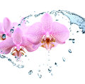 Orchid and water nice pink flowers in splashing Royalty Free Stock Photo
