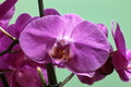 Orchidaceae orchid family is the largest family of the flowering plants angiospermae its name is derived from the genus orchis Stock Image