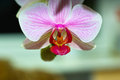 Orchidaceae orchid family is the largest family of the flowering plants angiospermae its name is derived from the genus orchis Royalty Free Stock Images