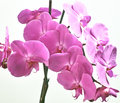 Orchidaceae orchid family is the largest family of the flowering plants angiospermae its name is derived from the genus orchis Stock Photo