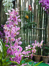 Orchidea rosa Immagine Stock