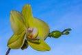 Orchidee vor blauem himmel Royalty Free Stock Photos