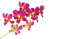 Orchids flower isolated on white spring season Royalty Free Stock Photo