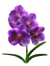 Orchids flowers it is isolated Stock Photos