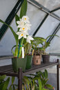 Orchids in Garden Greenhouse Royalty Free Stock Photo