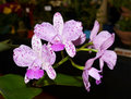 Orchids. Royalty Free Stock Photo