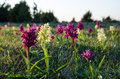 Orchids in morning sun elder flowered at the great alvar plain on the island oland sweden Stock Image