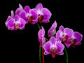 Orchids purple isolated on a black background Stock Photography