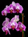 Orchids purple isolated on a black background Stock Photo