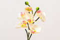 White orchids Royalty Free Stock Photo