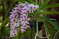 Orchids (Rhynchostylis gigantea),Thailand. Royalty Free Stock Photo