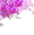 Orchids on white background Stock Images