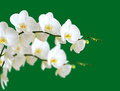 Orchids white flower isolated on green background Royalty Free Stock Image