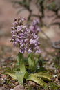 Orchis lactea Royalty Free Stock Images