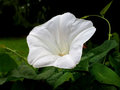 Ordinary bindweed with flower Royalty Free Stock Photo
