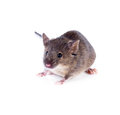 An ordinary house mouse on a white background isolated Royalty Free Stock Image