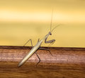 Ordinary mantis insect brown vile tree wing feeler summer jump Stock Photography