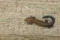 Ordinary wall lizard on wooden board Stock Image