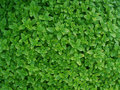 Oregano Royalty Free Stock Photo