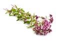 Oregano flowers   isolated on white background. Royalty Free Stock Photo
