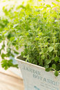 Oregano in herb pot close up Stock Images