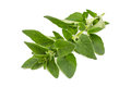 Oregano - origanum vulgare Royalty Free Stock Photo