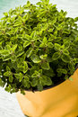 Oregano Plant Royalty Free Stock Images