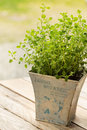 Oregano plant in pot close up Royalty Free Stock Photos