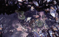 """Oregon coast tidepool tidepools form along the rocky of southern especially during the wide disparities of """"spring tides """" Stock Photo"""