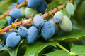 Oregon grape leaves and fruit Royalty Free Stock Photo