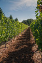 Oregon s grapevine rows with fir surrounded by growing green pinot vineyard in wine country where world class wines are produced Stock Photo