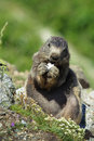 Oreo marmot a wild eating an biscuit given by some of the travelers Stock Images