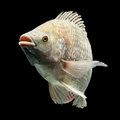Oreochromis mossambicus mozambique tilapia isolated on black studio aquarium shot Stock Photography