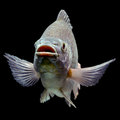 Oreochromis mossambicus mozambique tilapia isolated on black studio aquarium shot Stock Photos
