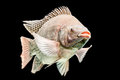 Oreochromis mossambicus tilapia fish mozambique isolated on black studio aquarium shot Stock Photo