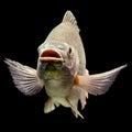 Oreochromis mossambicus tilapia fish mozambique isolated on black studio aquarium shot Stock Images