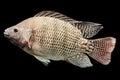 Oreochromis mossambicus tilapia fish mozambique isolated on black studio aquarium shot Royalty Free Stock Image
