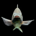 Oreochromis mossambicus tilapia fish mozambique isolated on black studio aquarium shot Stock Image