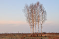 Orest birch trees middle island immense field Stock Images