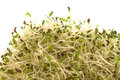 Organic Alfalfa Sprouts Isolated Royalty Free Stock Photo