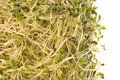 Organic Alfalfa Sprouts Isolated Royalty Free Stock Photos