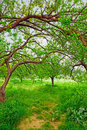 Organic apricot garden in Turkey. Stock Image