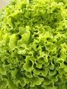 Organic batavia Stock Photo