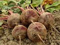 Organic beetroots Stock Photography