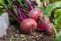 Organic beets Royalty Free Stock Photo