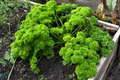 Organic bunch of parsley top view on a big fresh healthy green in an vegetable and herb garden Royalty Free Stock Photos