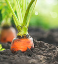 Organic Carrots. Carrot Growing Stock Image