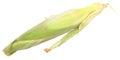 Organic Corn in Husk Royalty Free Stock Photo