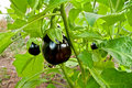 Organic Eggplant In A Garden Royalty Free Stock Photo