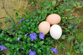 Organic Eggs in Garden Royalty Free Stock Photos